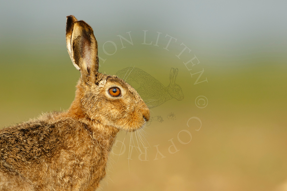 European Hare (Lepus europaeus) adult in grass meadow, South Norfolk, UK. May.