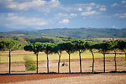 Farm tractor and umbrella pine trees at Sovicille near Siena in Tuscany, Italy