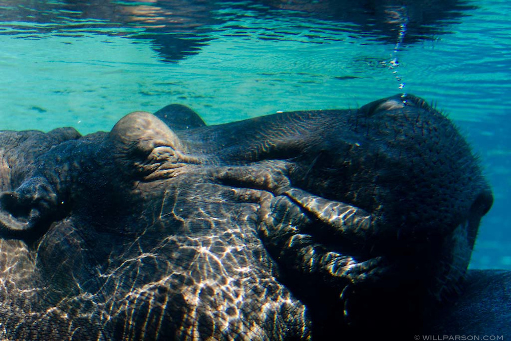 A Hippopotamus blows bubbles underwater at the San Diego Zoo