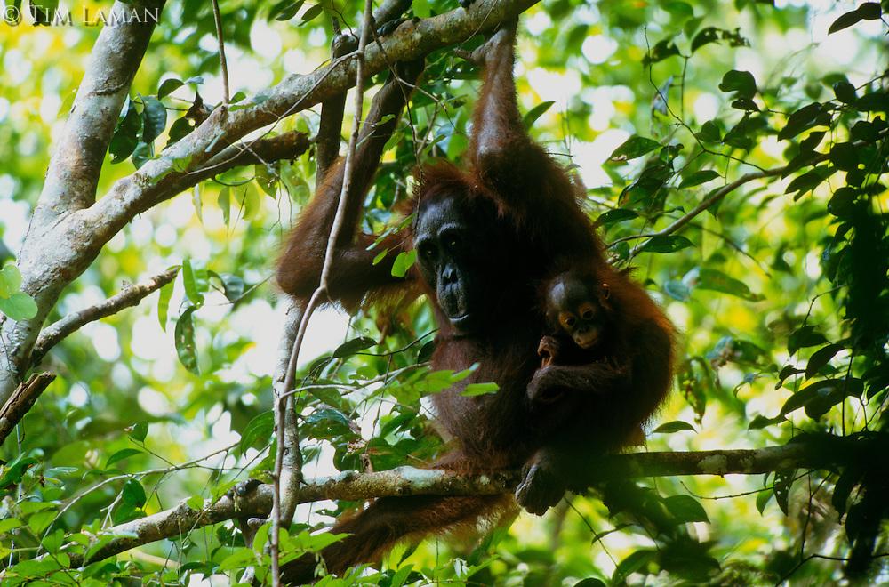Adult female Bornean Orangutan (Pongo pygmaeus) with infant.  Gunung Palung National Park, West Kalimantan, Indonesia.