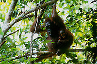 Adult female Bornean Orangutan (Pongo pygmaeus) with infant.  Gunung Palung National Park, West Kalimantan, Indonesia.