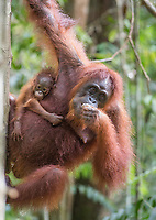 A wild female Bornean orangutan with baby (Pongo pygmaeus) feeding in Tanjung Puting National Park, Borneo, Indonesia.