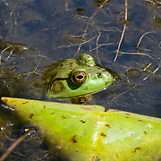 Bullfrog among lily pads
