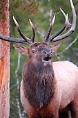 Wildlife: Elk, Bull Elk