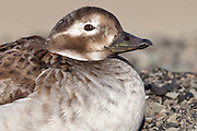 Long tailed duck, Svalbard (cropped view)