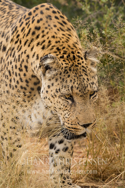 An african leopard stalks through low bushes, Naan Ku Se Wildlife Sanctuary, Namibia.