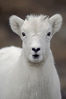 Dall Sheep lamb (Ovis dalli) along Denali Park Road; Denali National Park near Polychrome Pass; Alaska