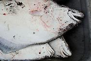 Sport-caught halibut from a Seward, Alaska charter trip to Montague Island.
