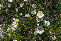 Cistus ladanifer (Crimson-spot Rockrose) at Grizzly Flat, Angeles NF, Los Angeles Co, CA, USA, on 22-Apr-17