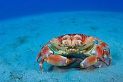 Batwing Crab (Carpilius corallinus) in Palm Beach, FL