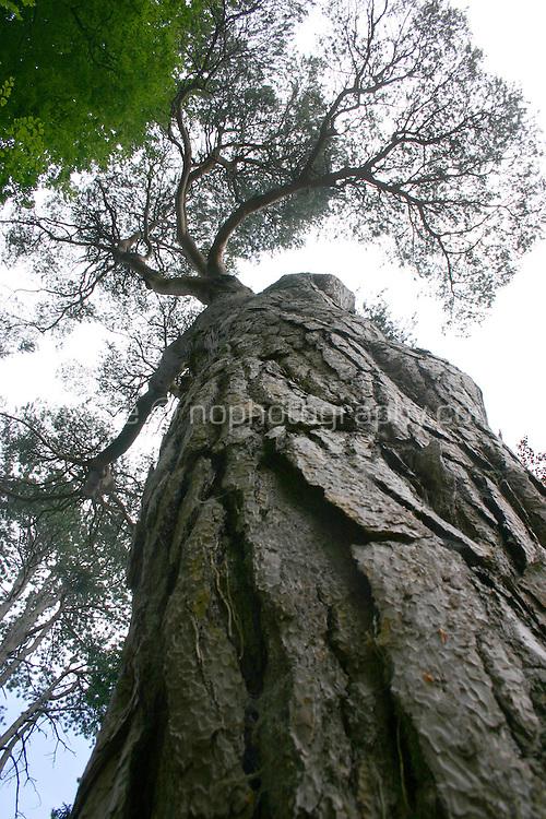 Tall tree, Wicklow, Ireland
