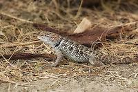 An adult female desert spiny lizard watches warily from mear the base of a desert fan palm in rural San Bernardino County in Southern California.