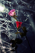 two withered roses with coweb