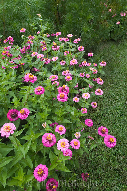 Zinnias at Montgomery Place Garden at Annandale-on-Hudson