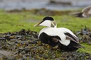EN.- Common Eider (Somateria mollissima). Male resting amongst seaweeds.  England, UK.<br /> <br /> ES.- Eider com&uacute;n (Somateria mollissima).  Macho descansando sobre algas. Inglaterra, Reino Unido.