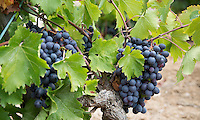 FRANKRIJK - Le Plan du Castellet - druiven voor de wijn.  ANP COPYRIGHT KOEN SUYK