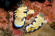 A pair of imperial nudibranchs in Maui, Hawaii, USA.(risbecia imperialis)