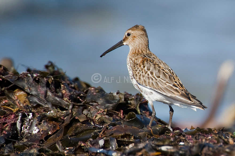 Dunlin, Calidris alpina, from south-western Norway