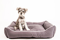 Cute terrier on a Dog Gone Smart Pet Products' Lounger Bed.