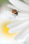 Harmony - Ladybug and daisies