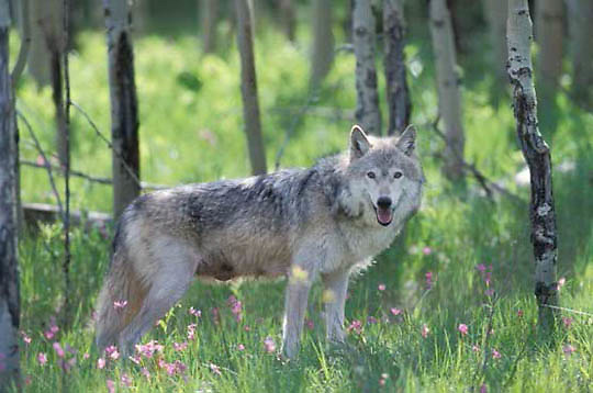 Gray Wolf, (Canis lupus) Adult in forest. Spring. Montana.  Captive Animal.