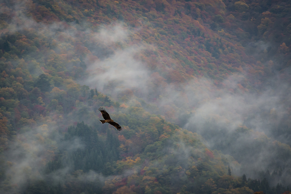 A black kite (Milvus Migrans) soars through the air with the woods near Shirakawa-go as the backdrop