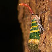 Pyrops karenia, Lantern Bug. Kaeng Krachan National Park, Thailand.