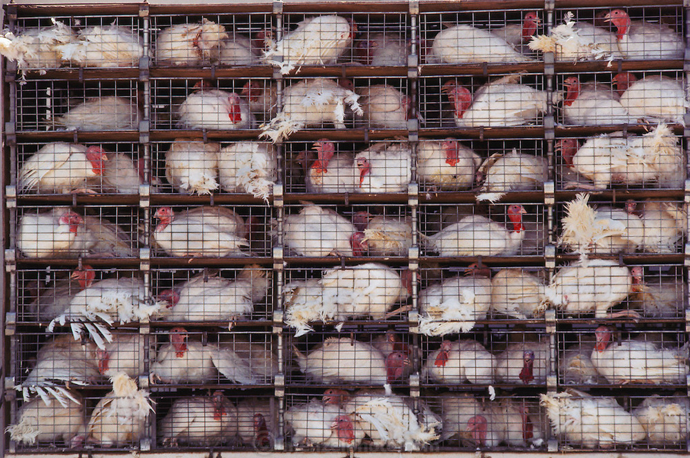 Poultry. Turkeys on a truck waiting to enter the slaughterhouse in Lincoln, California, USA.