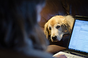 Dog (golden retriever) waiting for his owner to get off the computer