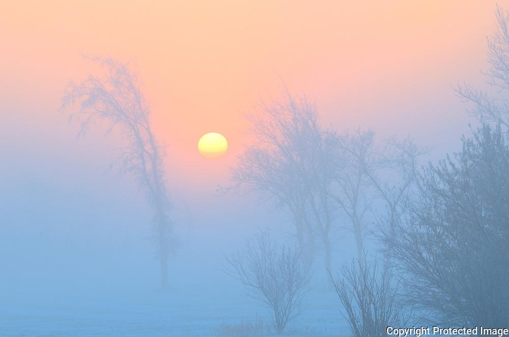 Trees in fog at dawn<br /> Winnipeg<br /> Manitoba<br /> Canada