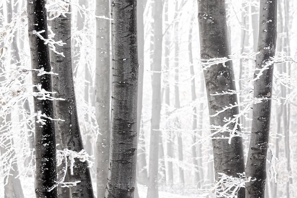 Frozen trees in the mist