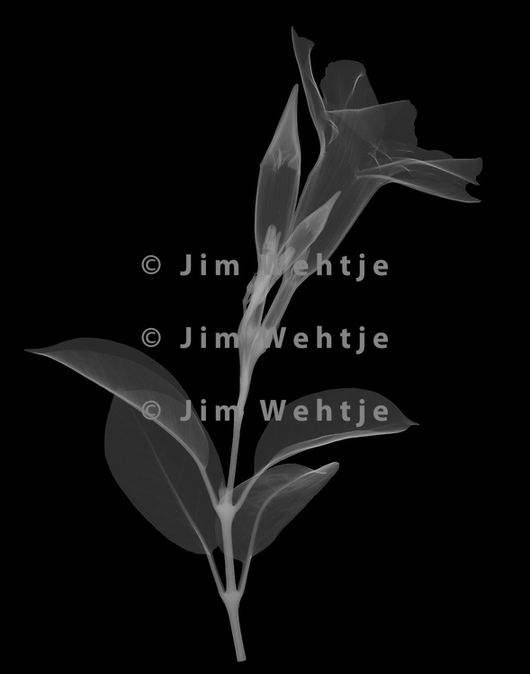 X-ray image of a mandevilla flower and buds (Mandevilla sanderi, white on black) by Jim Wehtje, specialist in x-ray art and design images.
