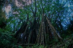 Banyan (Ficus benghalensis), Big Island, Hawaii, US