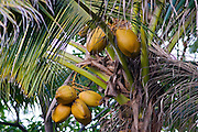 Coconuts growing on a palm tree at Thala Beach, Port Douglas, Australia