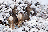 Not all Mule Deer have antlers some are also young and or the female of the species all of them fight the winter cold and snow.