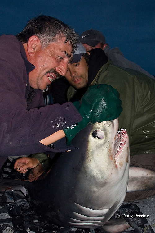 Emmerson Simpson, of Sharks Unlimited, struggles to control a porbeagle shark, Lamna nasus, captured for research, while Joey Pratt, just behind him, from the Canadian Shark Conservation Society, collects parasite samples from the shark's skin, New Brunswick, Canada ( Bay of Fundy )