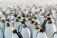 Emperor penguins stand together to protect themselves against the freezing wind and snow. Gould Bay, Weddell Sea, Antarctica.