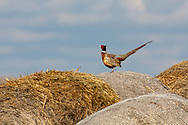 Rooster pheasant on top of a round hay bail