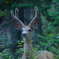 Mule deer buck in velvet near the East Rosebud River, Absaroka Beartooth Wilderness, Montana