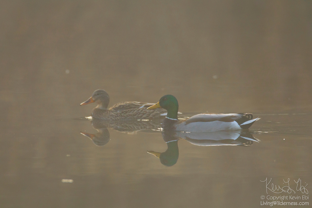 A pair of mallard ducks (Anas platyrhynchos) swims in the fog on Scriber Lake in Lynnwood, Washington. A female mallard is on the left; a male, also called a drake, is on the right.
