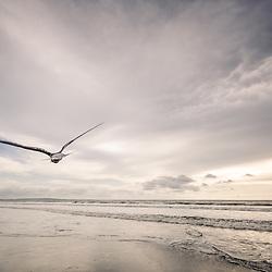 Ave em voo numa praia em Cabinda ao pôr do sol...Uma gaivota (ou andorinha-do-mar) em pleno voo na praia de Fútila em Cabinda, Angola.