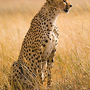 A male cheetah (Acinonyx jubatus) in Ngorngoro National Park, Tanzania.