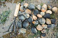 Cockles in Garabaldi, OR.