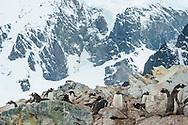 Gentoo penguins, Pygoscelis papua, Cuverville Island, Antarctica