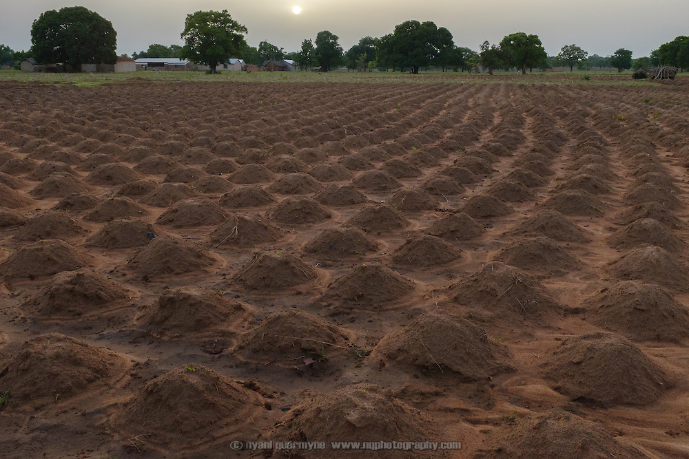 A field of millet, planted in small raised mounds, in the village of Lyssah in the Upper West region of Ghana.