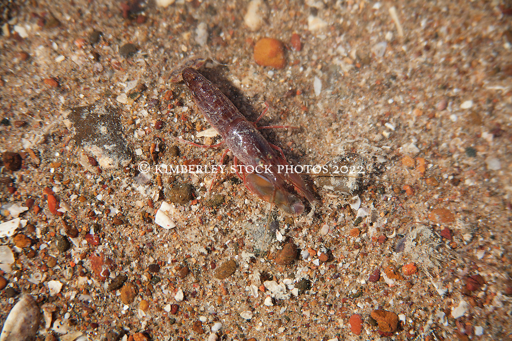 A small unidentified crustacean on a gravelly sandbank in Deception Bay in Camden Sound on a super low tide.
