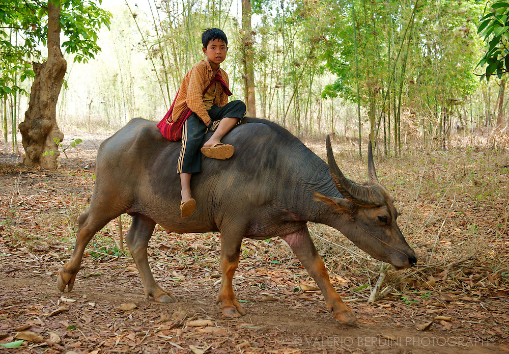 A young boy takes a lift on a water buffalo to cross a wood and reach the rice fields.