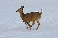 A White-tailed Deer runs across the frozen lake at Carburn Park.  It's tail sticks high in the air like a flag as it prances...©2009, Sean Phillips.http://www.Sean-Phillips.com