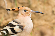 A Eurasian hoopoe shows off its beautiful plumage, Parc de l'Oreneta, Barcelona, Spain.