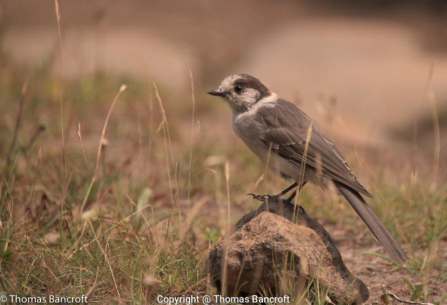 A gray jay hops onto a rock to have a close look at me.